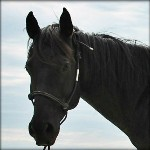 Selling A Horse - Our Blue Roan Mare