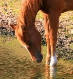 Training A Horse To Cross Water