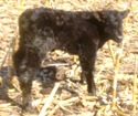 New Calf Born On Our Farm