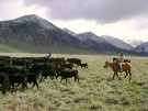 Rules For Helping With Cattle Work on A Ranch