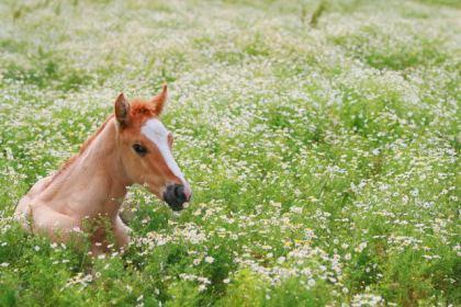 Foal in Daisies