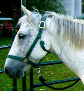 Cricket -- Grade Quarter Horse Mare