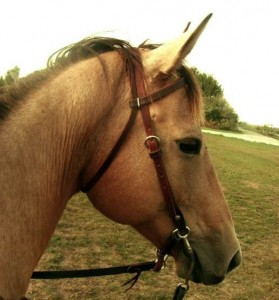 Buckskin AQHA Mare Command A Cowgirl