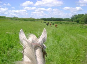 Driving Cattle Horseback