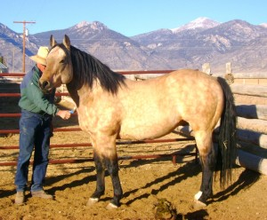 Docs Cold Cash AQHA Buckskin Stallion