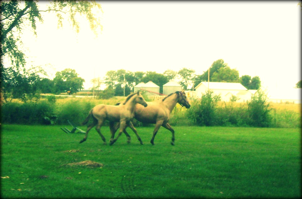 Buckskin AQHA Mare and Foal