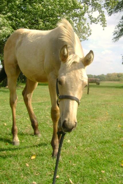 Halter Breaking A Horse
