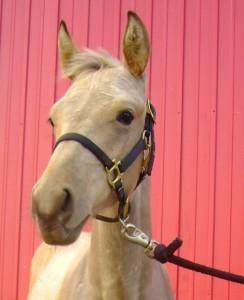 Halter Training A Foal