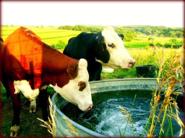 Cows On Our Farm - Peaches and Dorothy - Cowgirl Blog