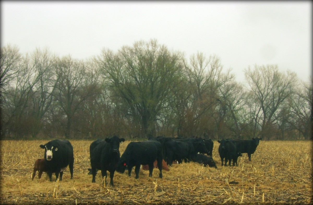 The Cows Eating Their Hay