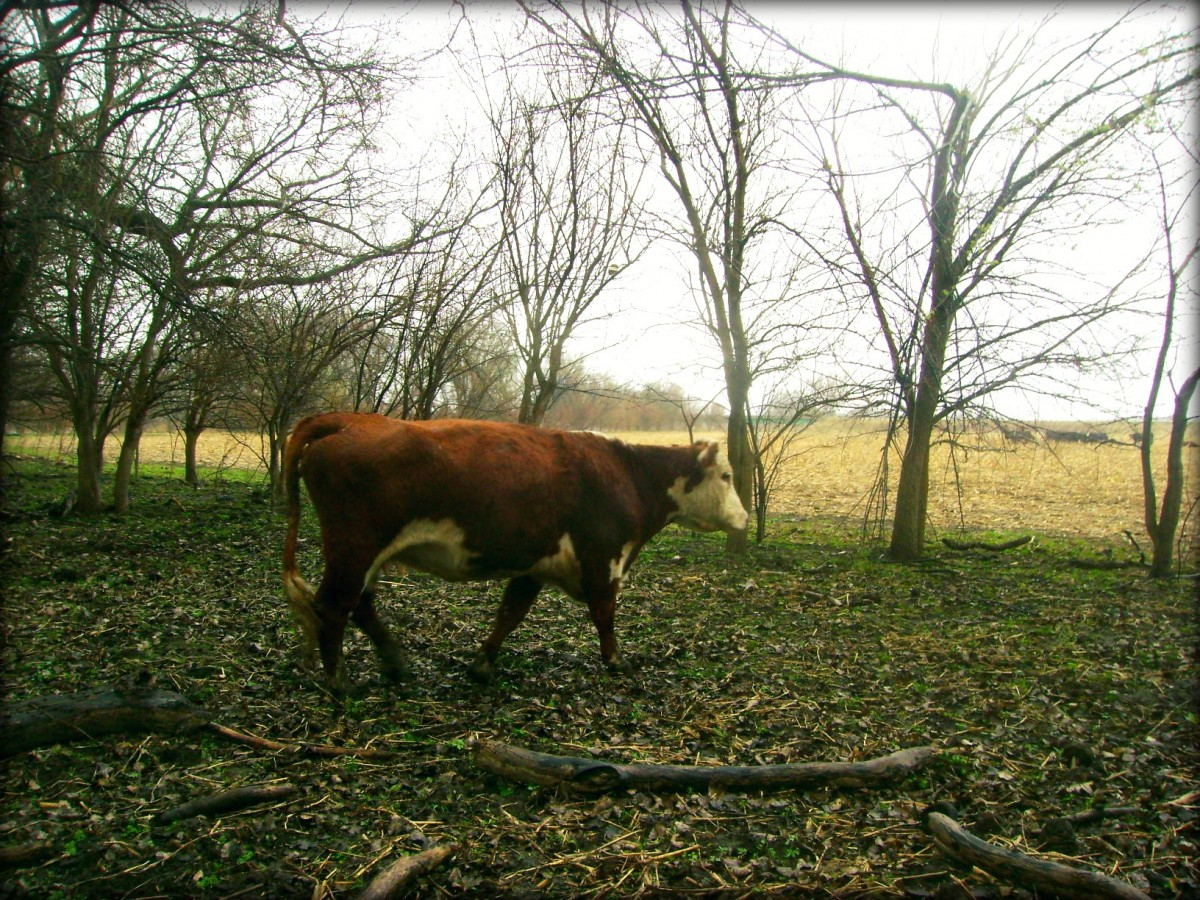 Driving the Cow Out Of the Woods