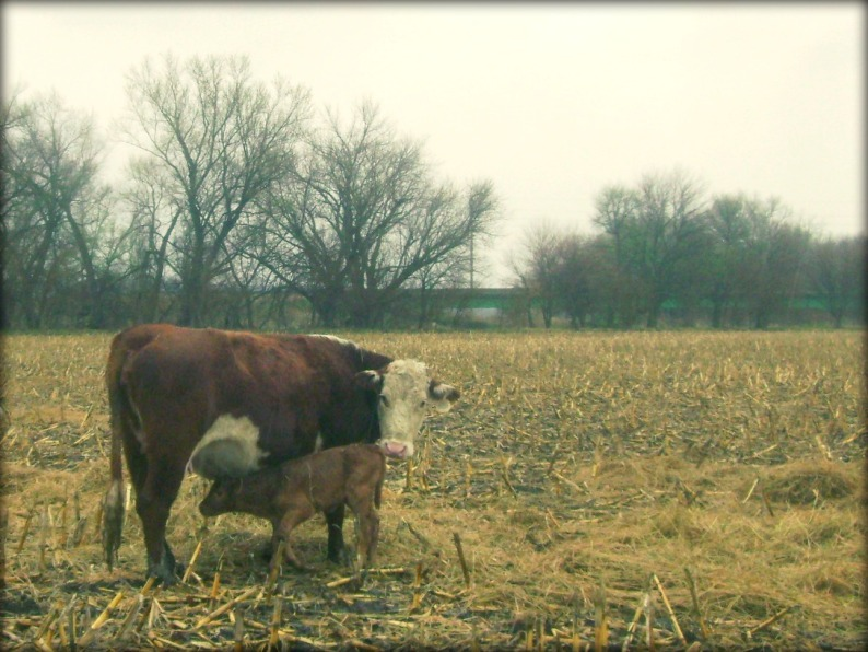 The Hereford Cow Encouraging Her Adopted Calf To Nurse