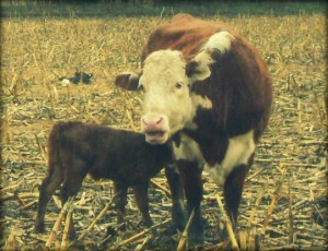 Grafting A New Calf On To Our Hereford Cow