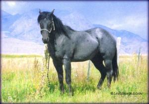 Hancock Bred Blue Roan Stallion - LewisHorses.com