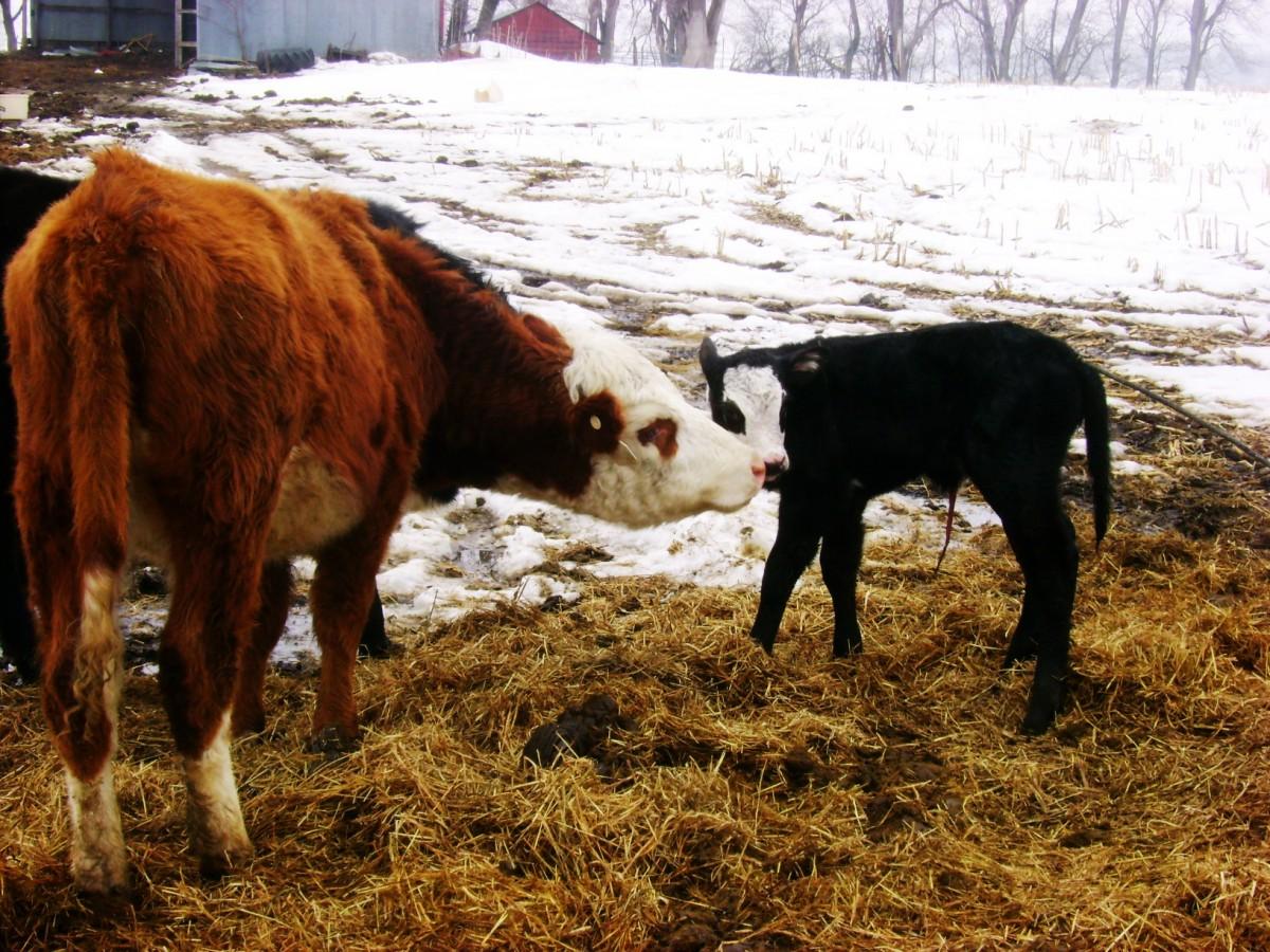 Cow dating website