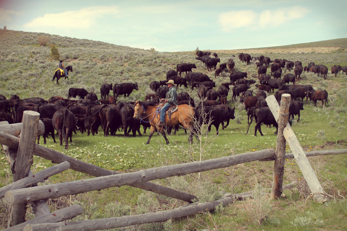 Cattle Drive in Idaho