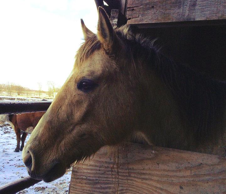 Penny AQHA Quarter Horse Mare