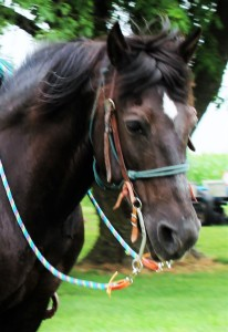 Trixie - Black Pony Mare
