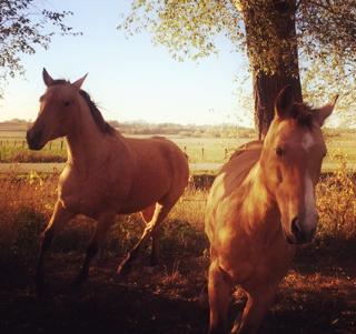 Buckskin Horses Running