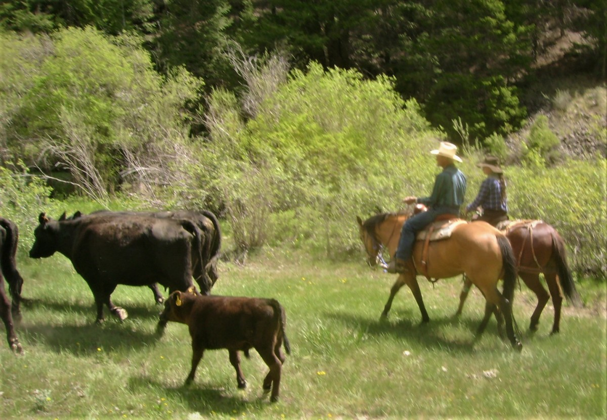 Moving Cattle Up Pass Creek